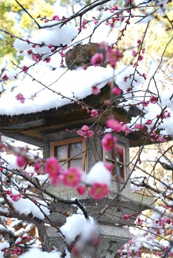 blog-yuki-ume2.jpg