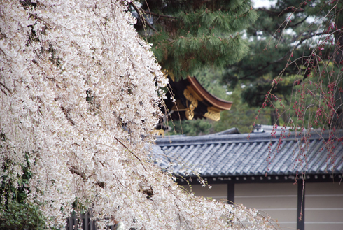 blognew-gosyo-sakura1.jpg